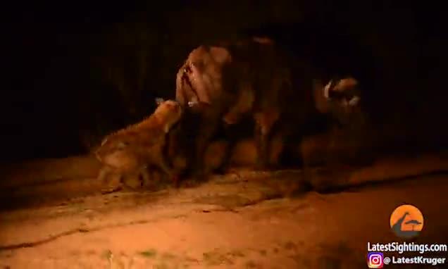 Trâu đen bất ngờ bị con linh cẩu đói lén lút tấn công hạ bộ từ phía sau.