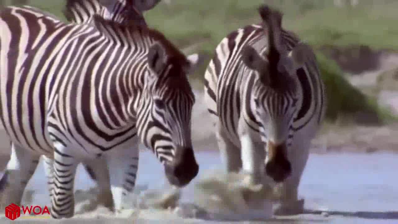 Ngựa vằn tránh vỏ dưa gặp vỏ dừa. Nguồn: Wow