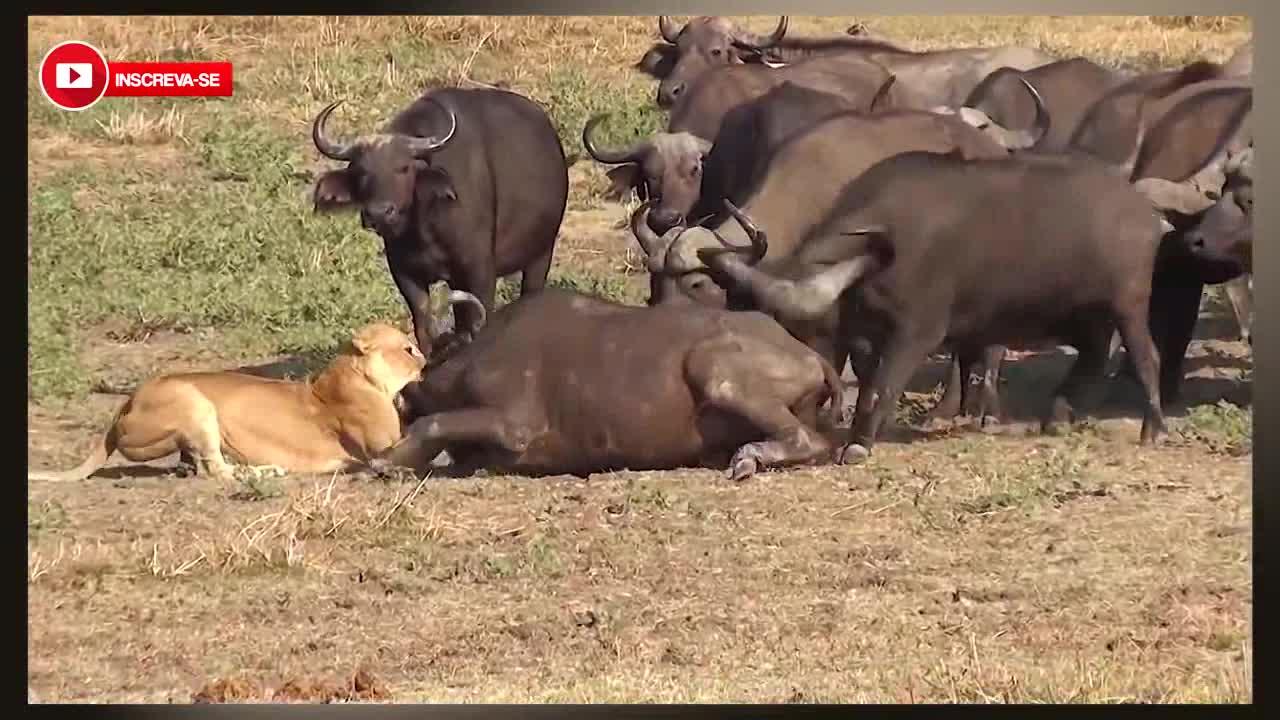 """Sư tử bị """"500 anh em"""" trâu rừng đánh đuổi. Nguồn: Youtube/Caçadores Mortais"""