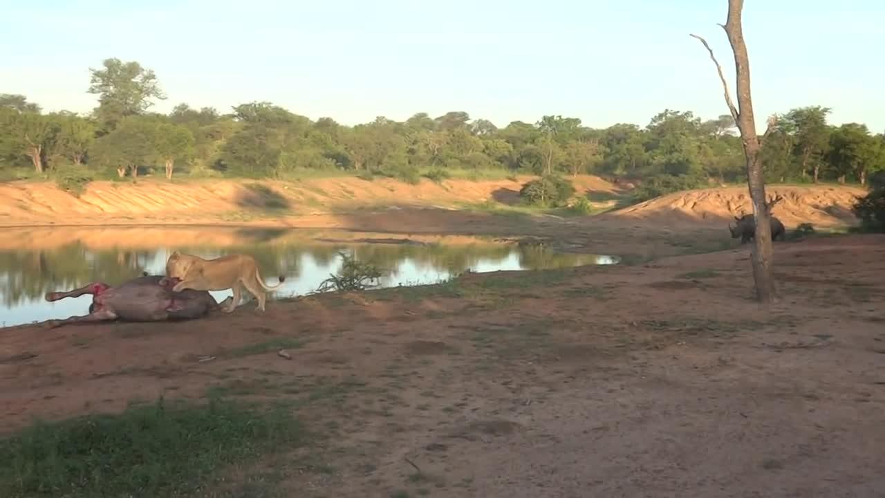 VIDEO: Đàn sư tử hợp sức hạ gục trâu rừng