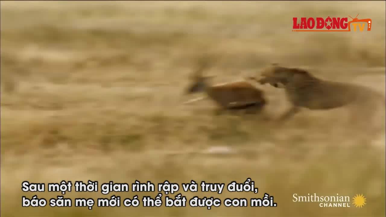 Thế giới động vật: Báo săn uất ức để con mồi rơi vào tay kẻ khác