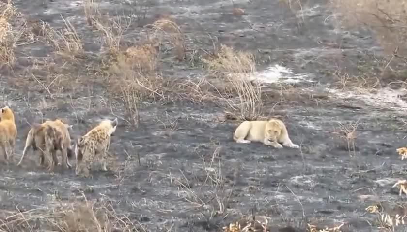 Linh cẩu bao vây và rắp tâm giết hại sư tử cái đơn độc. Nguồn: BZ