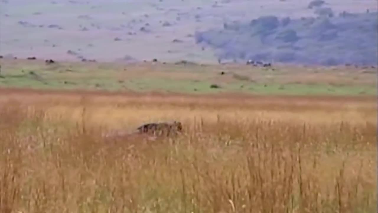 Trâu rừng giải cứu linh dương khỏi sư tử. Nguồn: Wildlife Protection Solutions