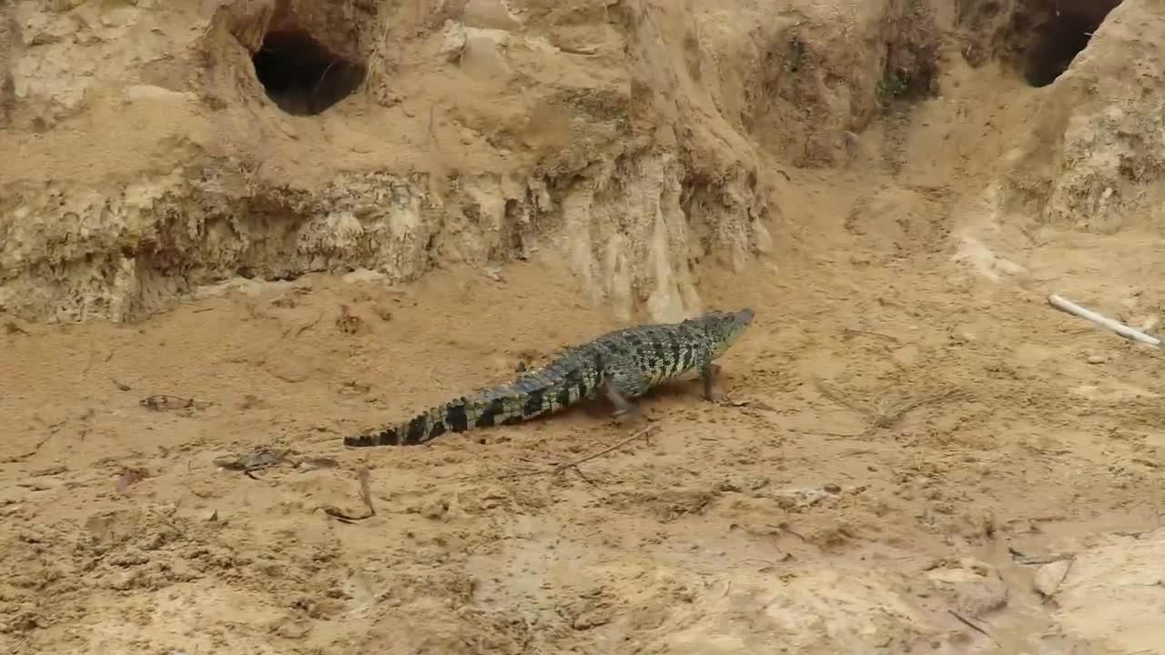 - màn giao chiến giữa cá sấu với rồng komodo - khoa học - báo điện tử tiền phong