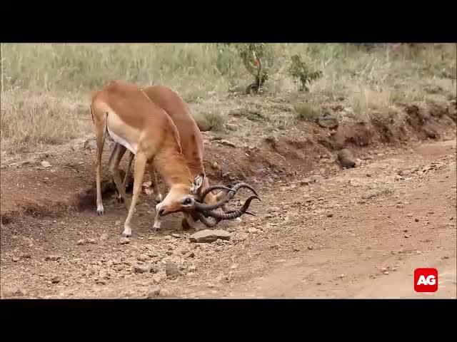 Màn quyết đấu không khoan nhượng giữa 2 con linh dương.