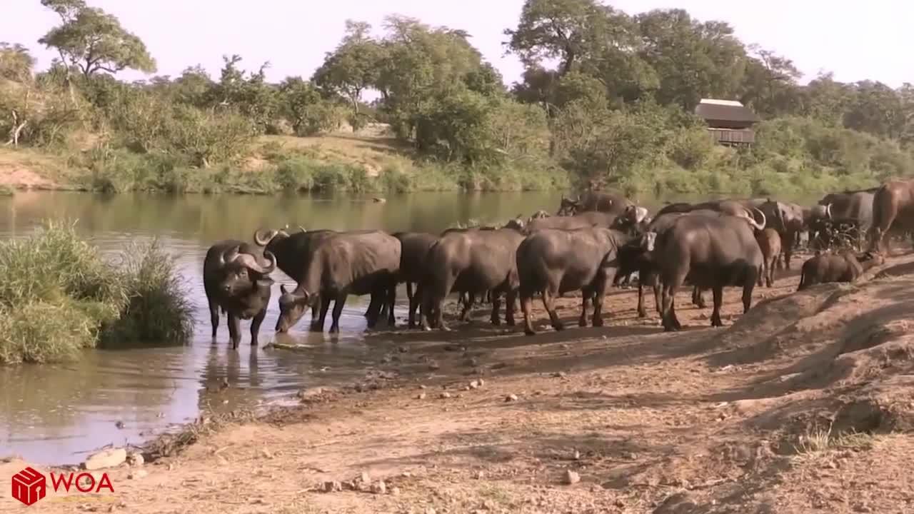 Trâu rừng bị sư tử bao vây dưới nước. Nguồn: Animal Leak