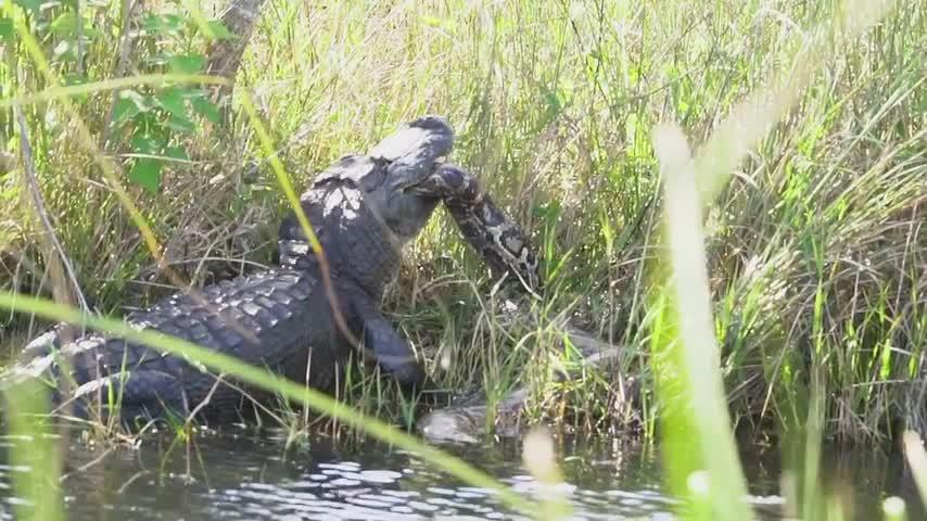 Cá sấu nhai trăn lớn