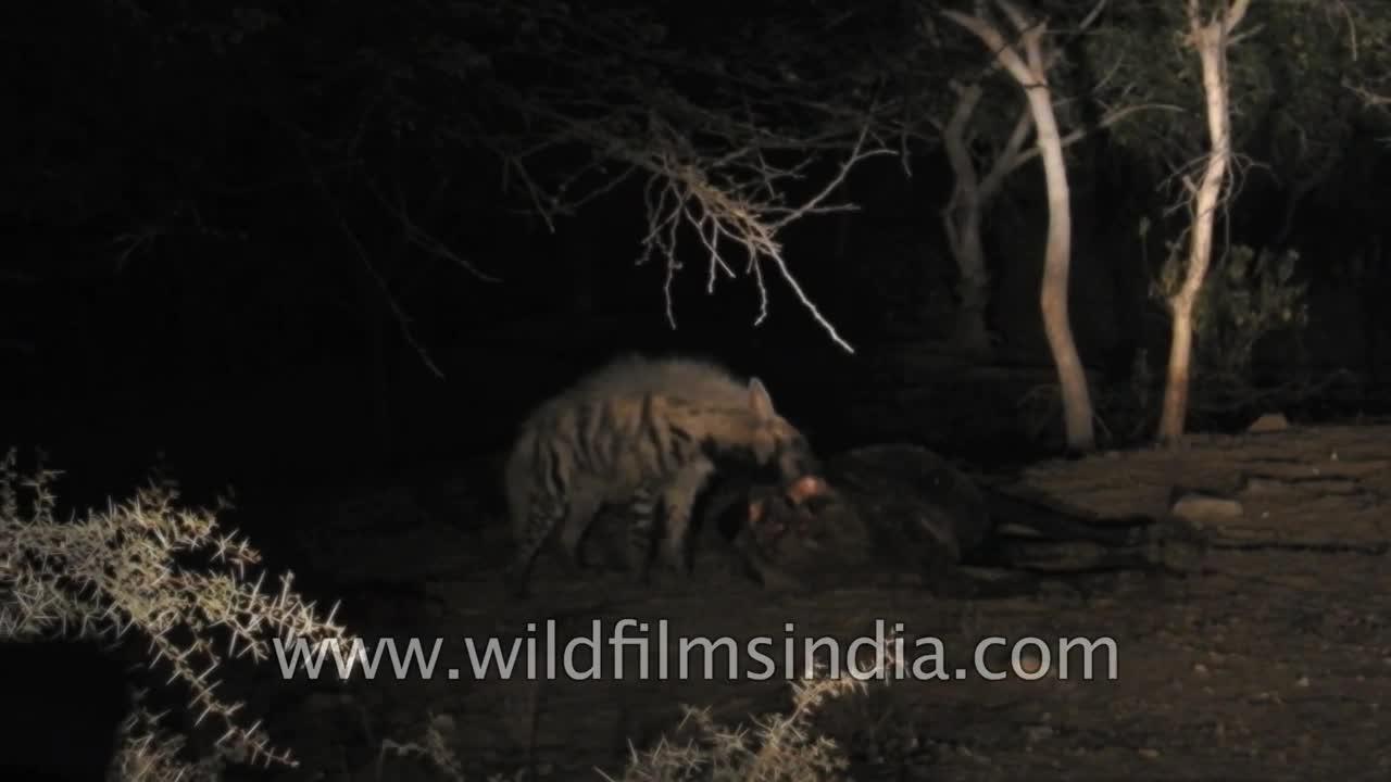 Linh cẩu bị chó đuổi khỏi xác con mồi. Nguồn: Wilderness Films India Ltd.