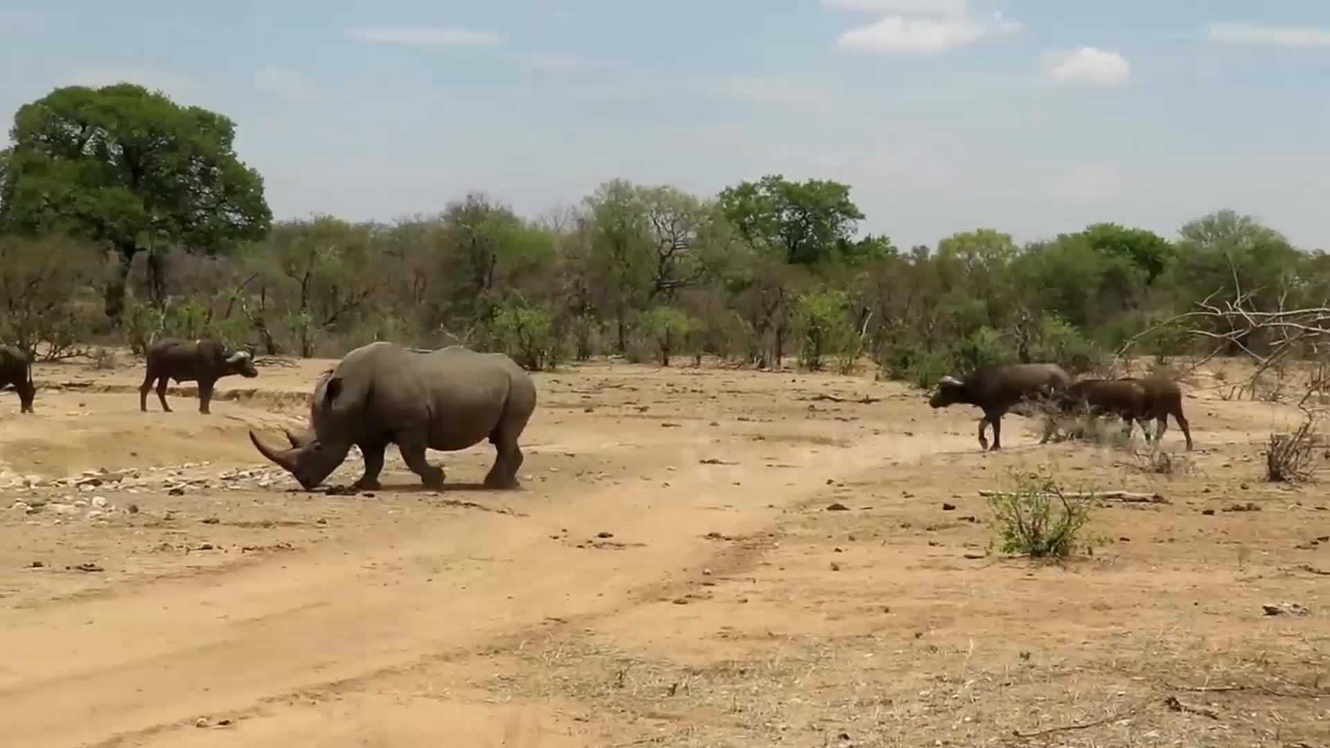 Trâu dạt về 1 bên để nhường chỗ cho tê giác tắm