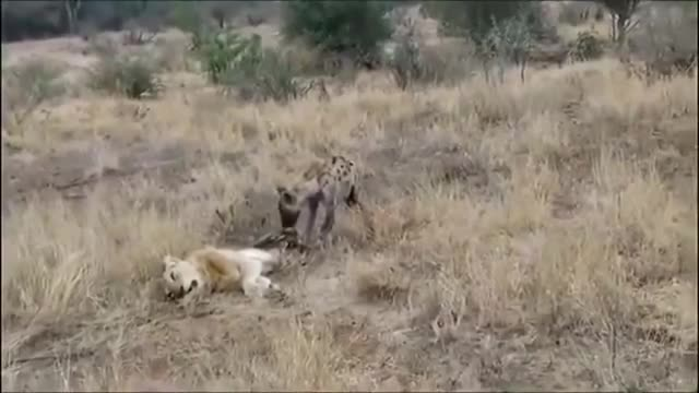 Sư tử cái trở thành thức ăn cho linh cẩu. Nguồn: Youtube