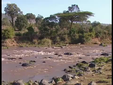Cá sấu bị sư tử tấn công kịch liệt. Nguồn: BBC