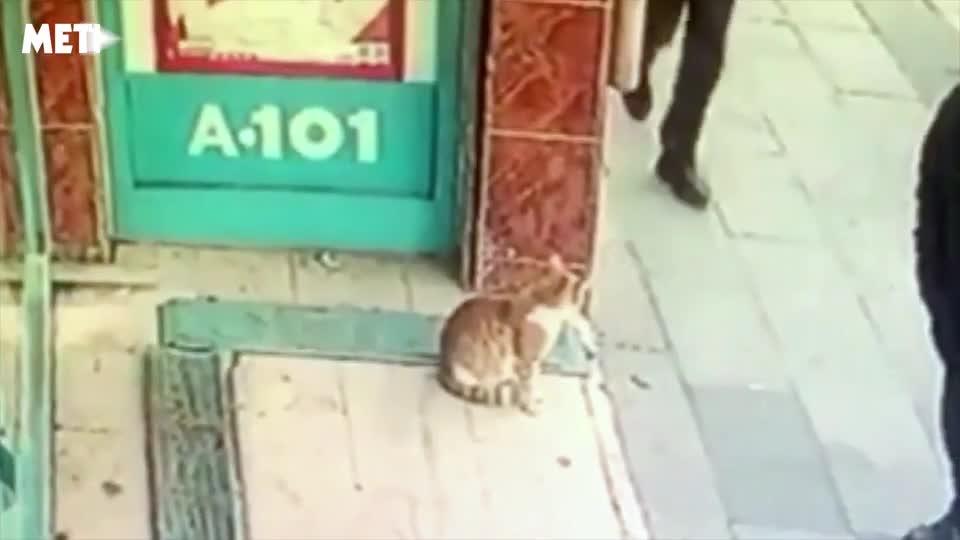 Video: Chú mèo Thổ Nhĩ Kỳ chỉ lao ra tấn công… nam giới và chó.