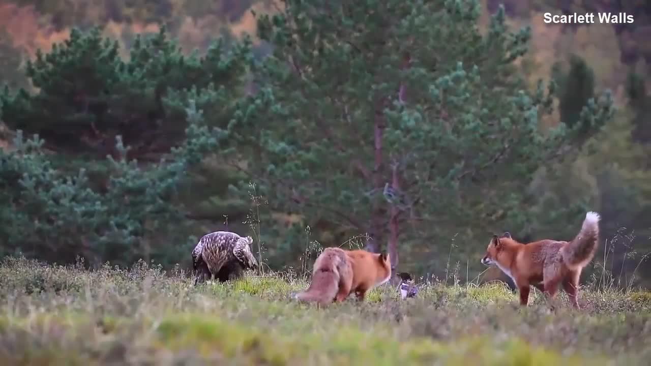 Đại bàng chiến đấu với 2 con cáo. Nguồn: Scarlett Walls