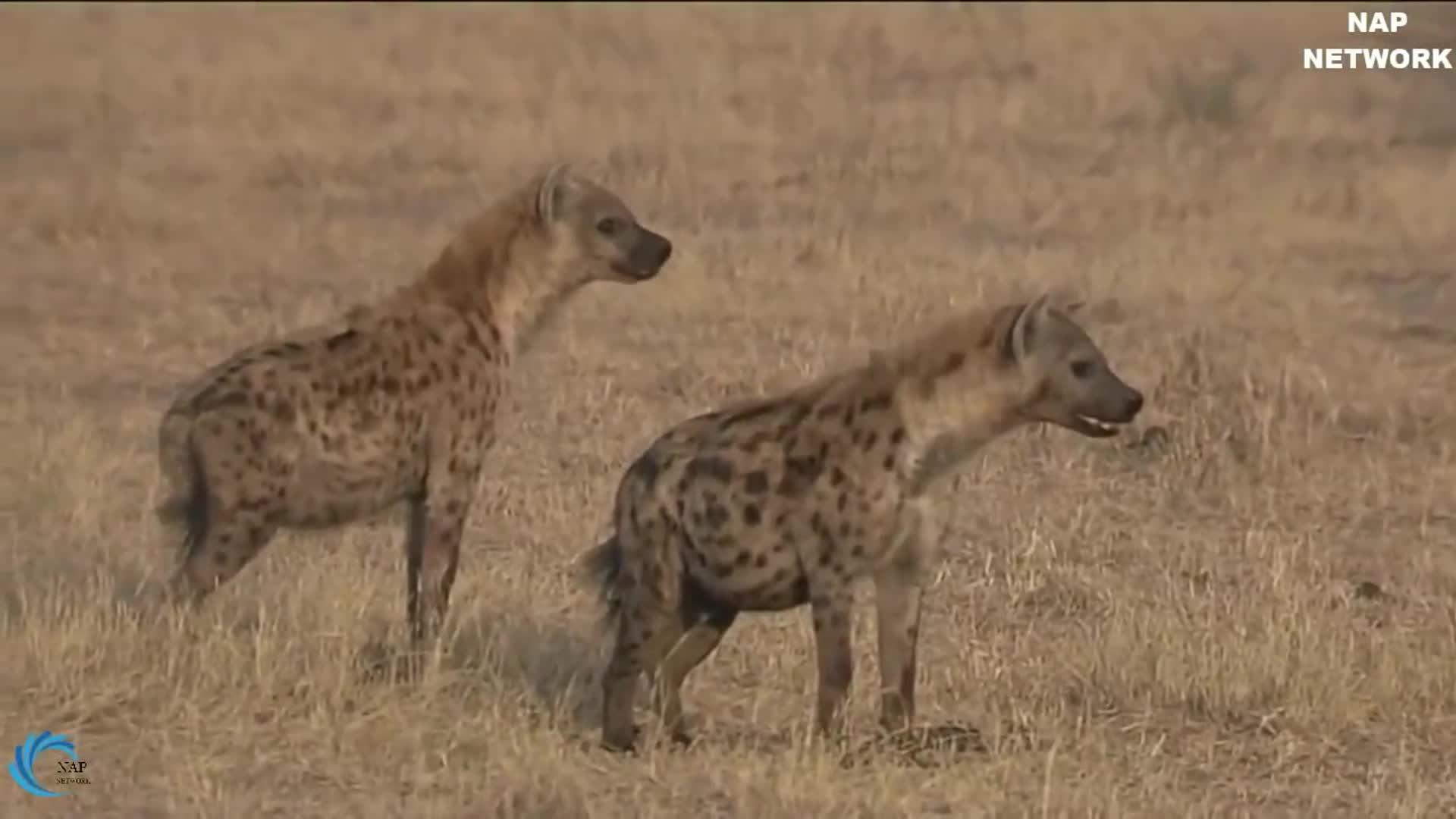 Ngựa vằn mẹ cứu con khỏi 10 con linh cẩu khát máu.  Nguồn: Lion Animal