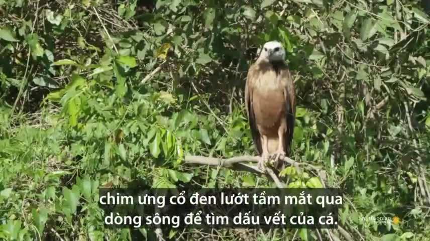 lao nhanh như cắt, chim ưng cổ đen tóm gọn cá dưới sông - báo đời sống & pháp luật