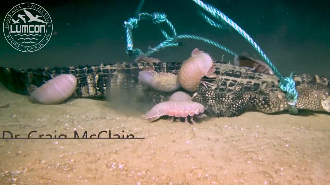 """Cận cảnh sinh vật biển kỳ dị xé xác """"sát thủ đầm lầy"""" với tốc độ khó tin"""