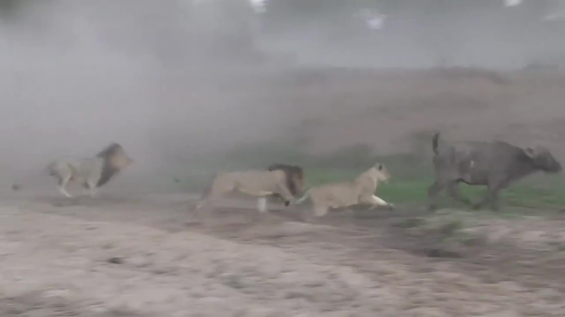 Trâu rừng thoát chết thần kì khỏi bầy sư tử. Nguồn: Kruger Sighting