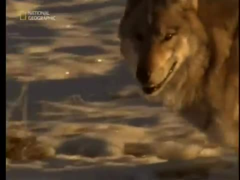 Chó sói săn bò bison. Nguồn: Nat Geo