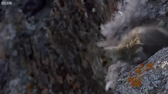- ngỗng con sống sót sau khi rơi từ vách đá cao hơn trăm mét