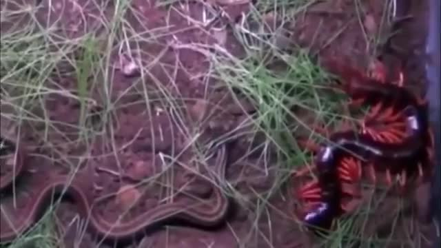 rết kịch độc ngoạm chặt thân rắn khiến đối thủ co giật rồi chết trong đau đớn