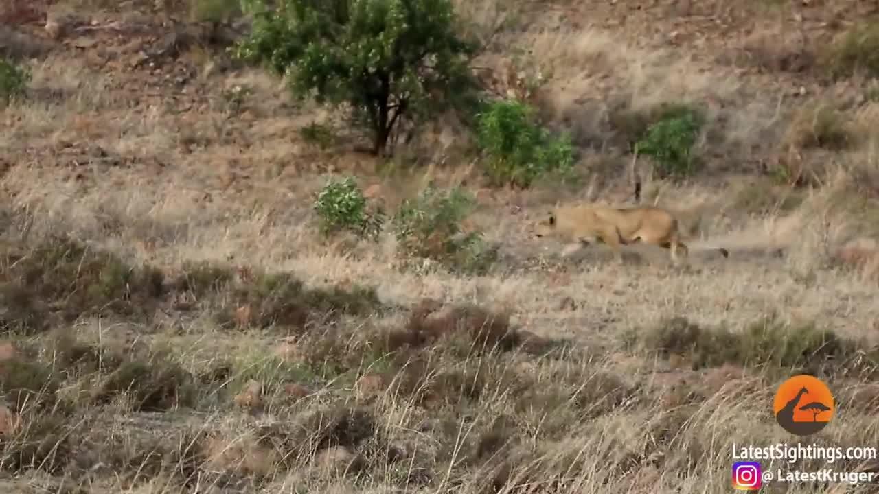 Sư tử trẻ định tới bữa tiệc thì bị bầy sư tử dạy cho bài học nhớ đời. Nguồn: Kruger Sightings