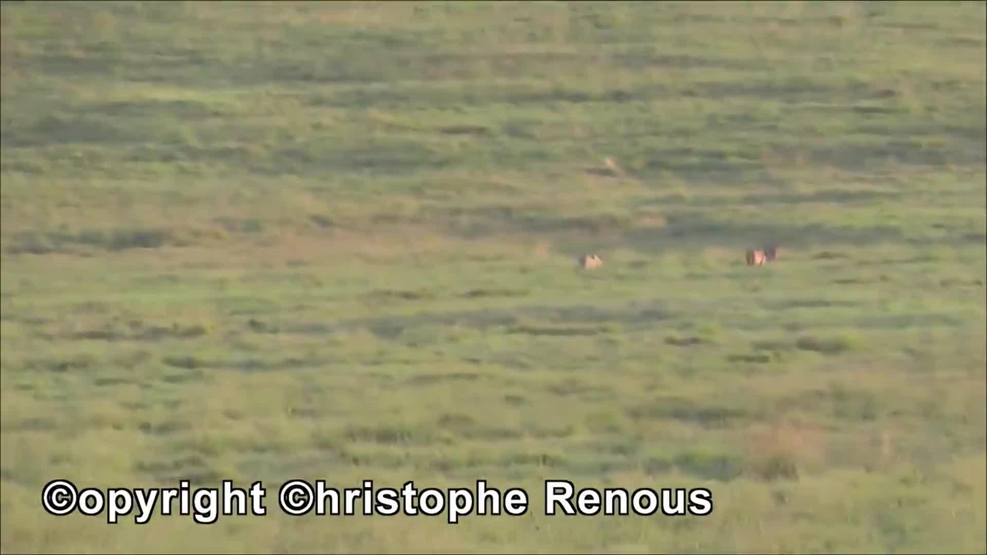 Sư tử tập kích trâu rừng bất thành. Nguồn: Christophe renous
