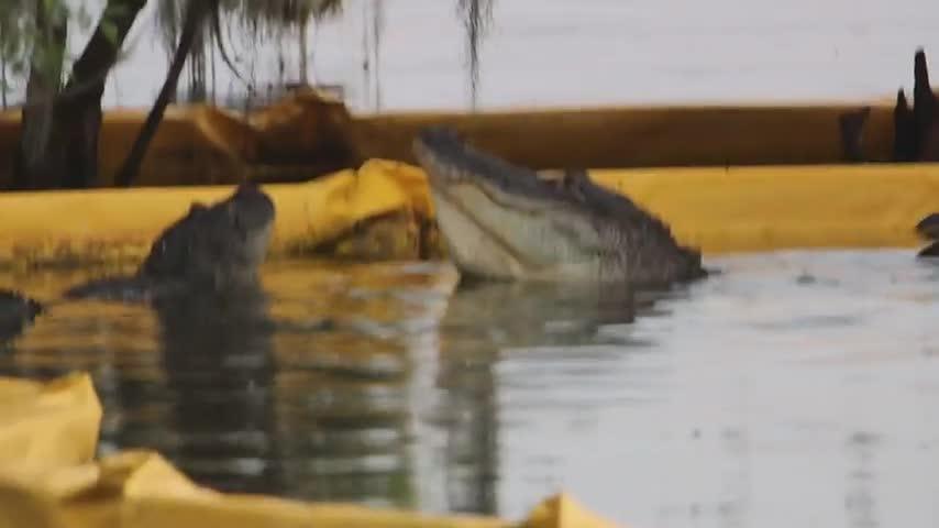"""Đang tán tỉnh bạn tình, cá sấu bị đồng loại """"chọc gậy bánh xe"""" rồi lặn mất tăm"""