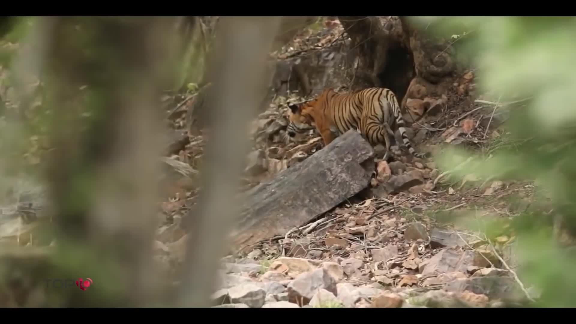 Hổ dùng tuyệt chiêu hạ sát nai lớn. Nguồn: Daily Jail