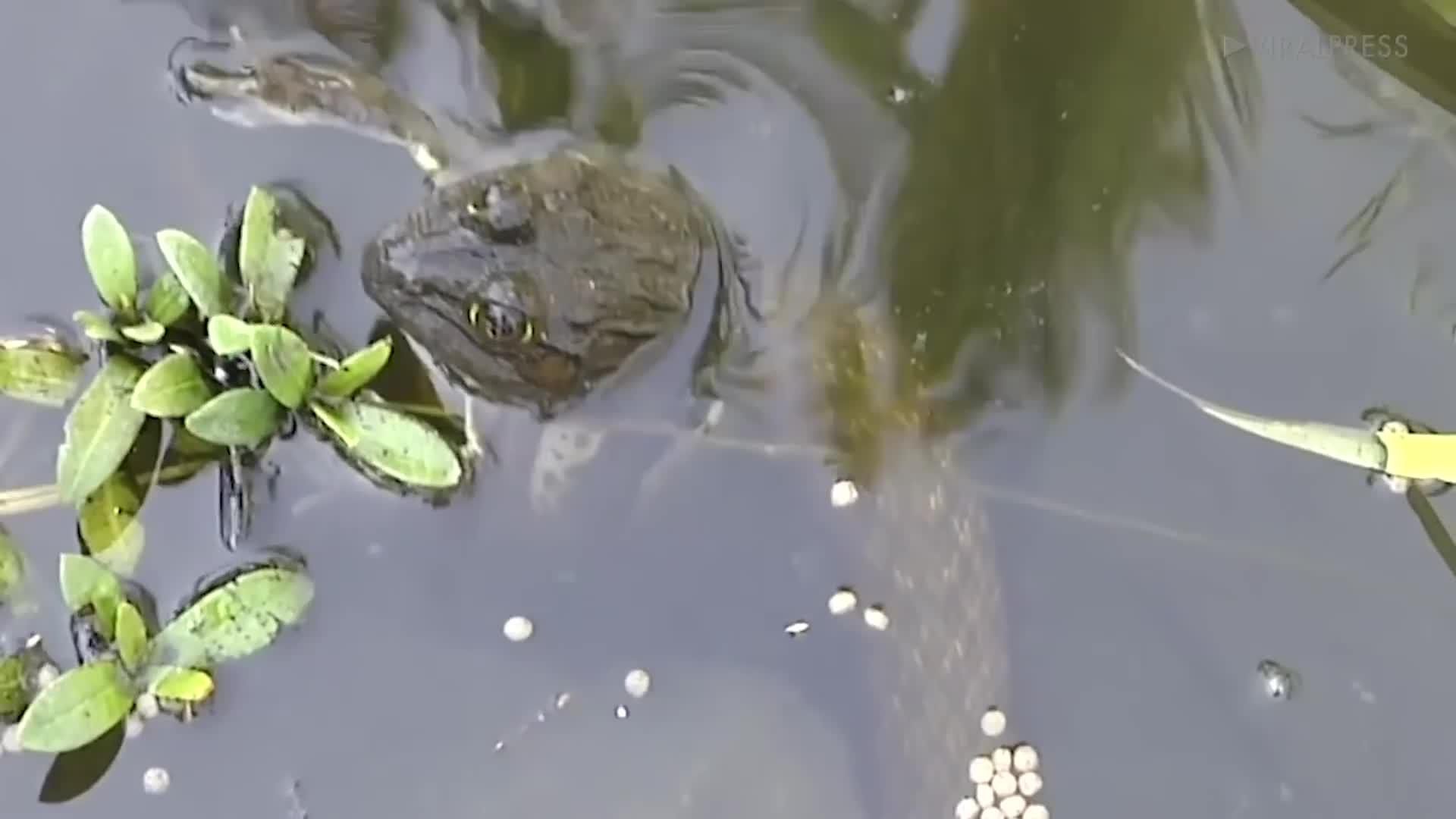 Sửng sốt cảnh ếch chết hồi sinh sau khi ra khỏi bụng rắn