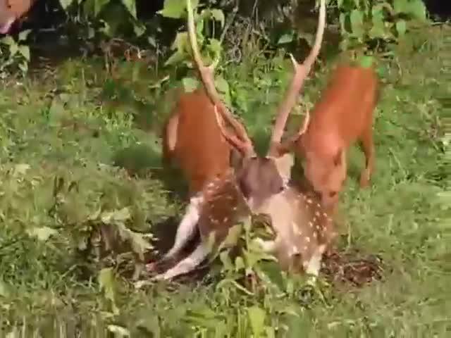 Hươu nằm im bất động để mặc chó rừng Ấn Độ ăn thịt. Nguồn: Raw and savage
