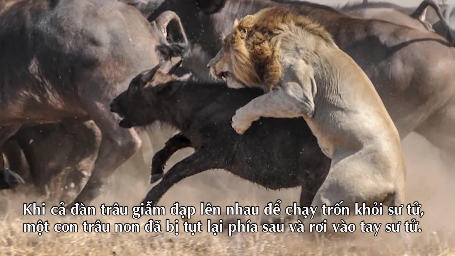 """Thế giới động vật: Sư tử nhận """"trái đắng"""" khi săn trâu con"""