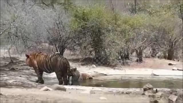 Cuộc chiến sinh tồn: Hổ mẹ dìm con xuống nước để tránh kẻ thù