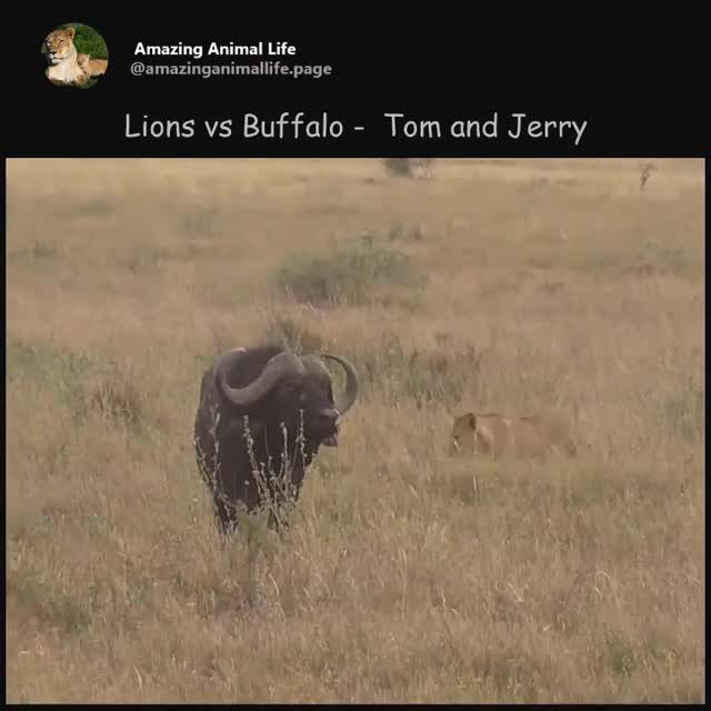 Trâu rừng đuổi cả bầy sư tử chạy lòng vòng quanh bụi cây. Nguồn: Amazing Animal Life