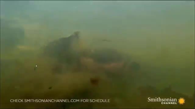 Kinh hoàng cảnh hung thần Amazon giết chết sát thủ đầm lầy trong nháy mắt