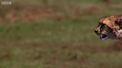 Báo săn phi thân thần tốc vồ gọn linh dương non trong sự bất lực của con mẹ