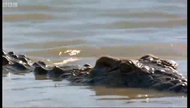 Cá sấu tấn công linh dương đầu bò bằng nhát cắn tử thần