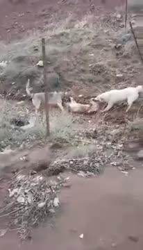 Chó nhà giết chết chó sói. Nguồn: Your the best