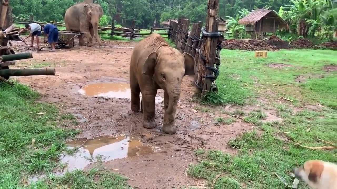 Đoạn video thú vị giữa chú voi con và 2 chú chó nhà.
