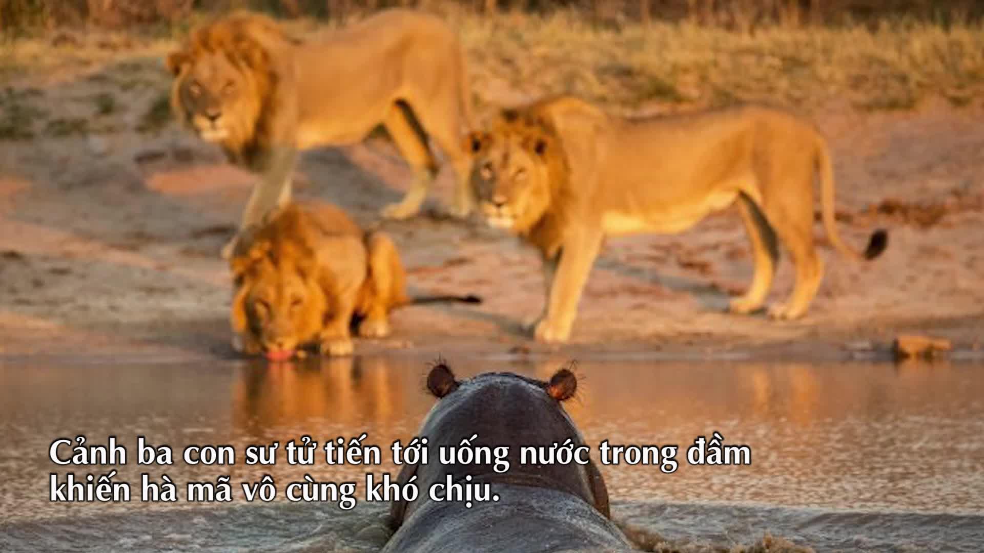 Thế giới động vật: 3 con sư tử chạy biến khi gặp hà mã