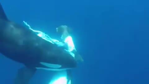 Cá mập bị cá voi ăn thịt. Nguồn: Planet Earth HD