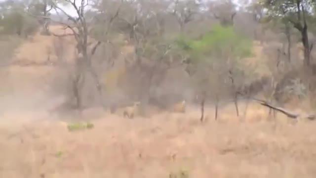 Sư tử bị con mồi phản công