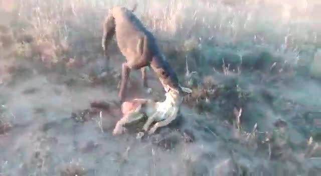 Chó sói đồng cỏ bỏ mạng vì chó săn