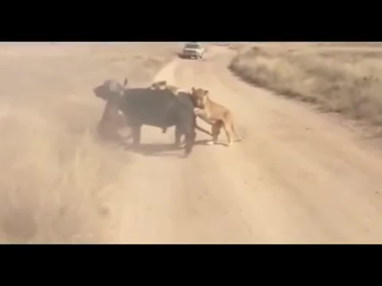 Sư tử bị trâu rừng tấn công giải cứu đồng loại
