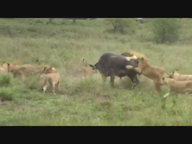 Trâu rừng đại chiến sư tử