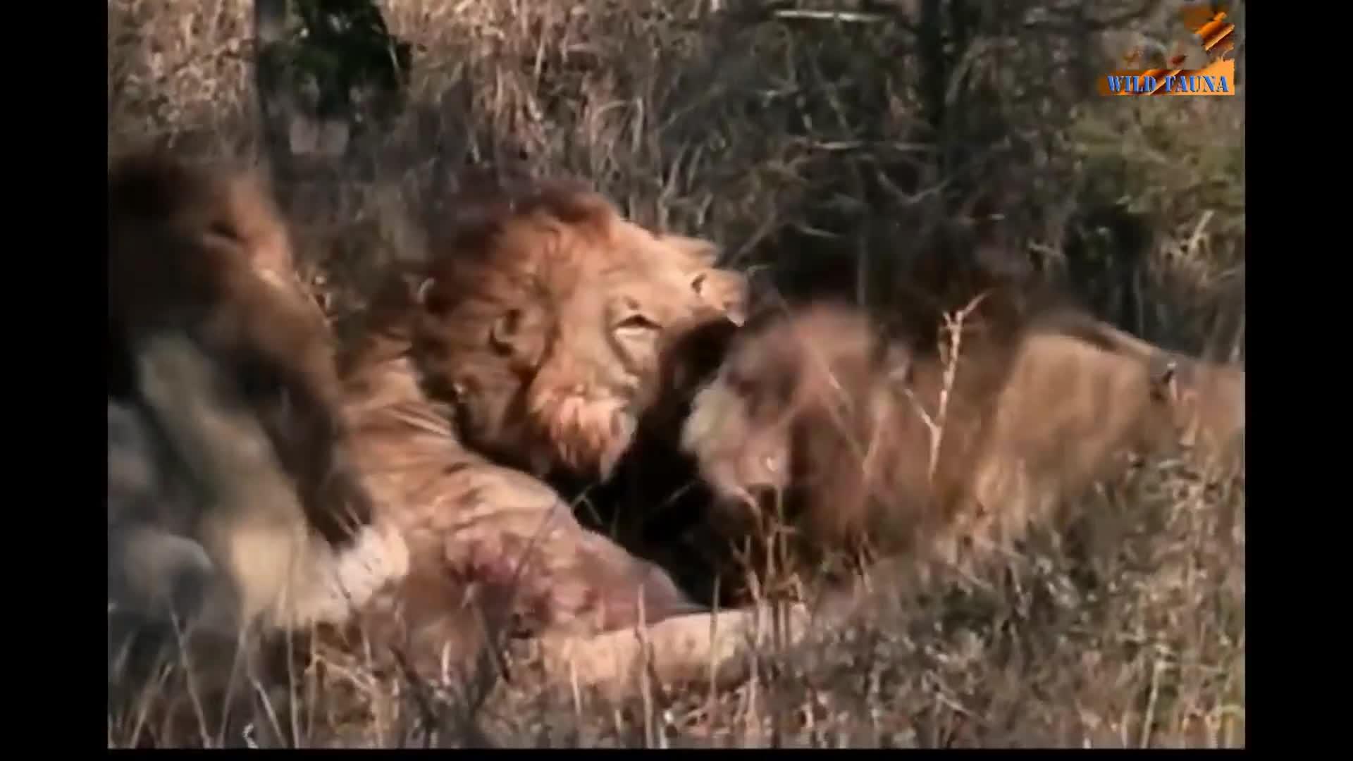 Sư tử già bị hai sư tử đực trẻ tấn công tới chết