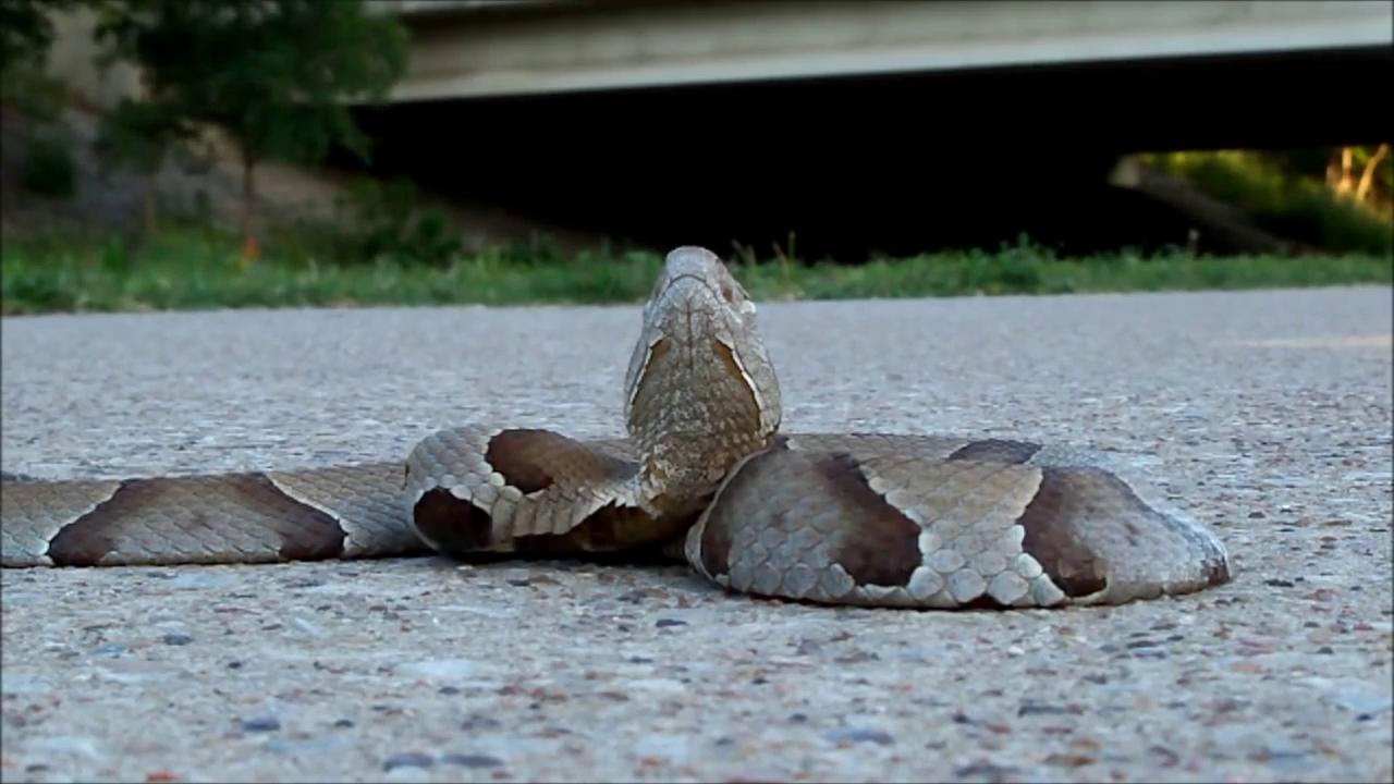Một con rắn Copperhead đang chuẩn bị ở tư thế tấn công. Nguồn: Youtube\refidnasb1.
