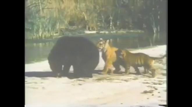 Gấu đen đại chiến hai hổ. Nguồn: Youtube/PTigris7