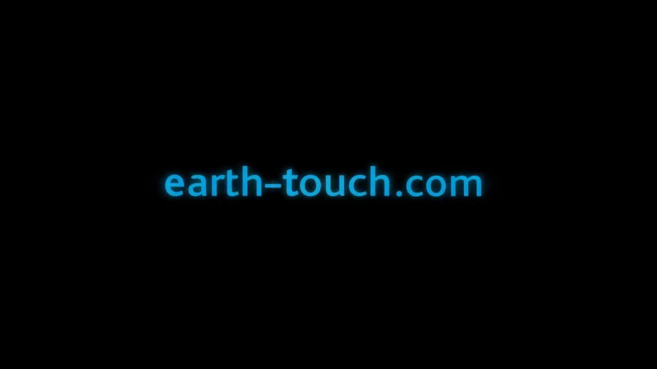 Sư tử ăn tươi nuốt sống cả voi. Nguồn: Earth Touch
