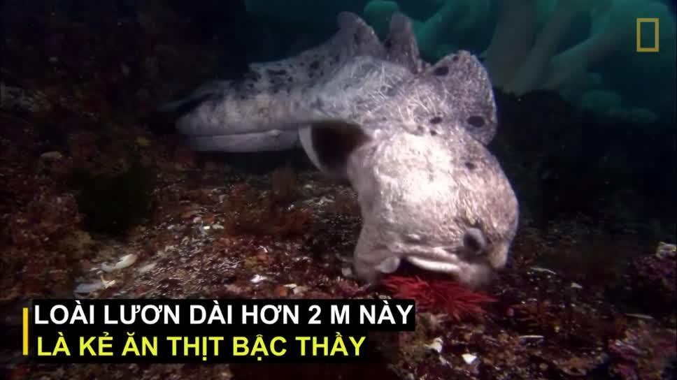 Lươn Sói. Nguồn: Nat Geo