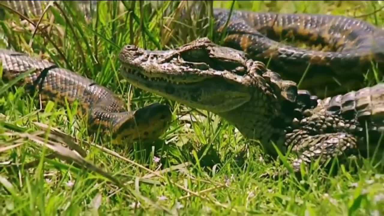 Trăn tấn công cá sấu bất thành, bị cá sấu quật tơi bời. Nguồn: WOW